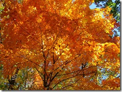 Fall-orange-maple-tree_-_West_Virginia_-_ForestWander
